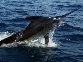 450# Blue Marlin