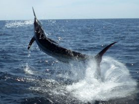 450# Marlin taking flight