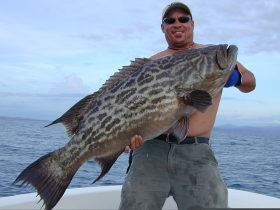 60# Broomtail Grouper